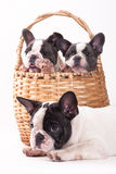 French bulldog in the basket Stock Photos