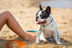 French bulldog on the beach Stock Photos