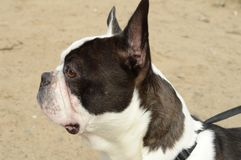 French Bulldog at the Beach royalty free stock photo