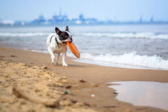 French bulldog on the beach Stock Photography