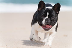 French bulldog on the beach Stock Photo