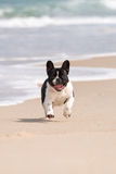 French bulldog on the beach Royalty Free Stock Photo