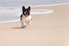 French bulldog on the beach. French bulldog running on the beach royalty free stock images