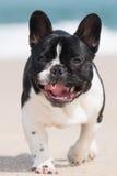 French bulldog on the beach Stock Image