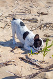 French bulldog on the beach Royalty Free Stock Images
