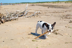 French bulldog on the beach Stock Photo