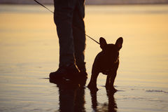French bulldog on the beach waiting by his person's feet. Black French bulldog standing on the wet beach by his person's feet, waiting to go for a walk royalty free stock image