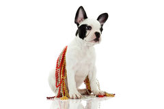 French bulldog with beads isolated on white background Royalty Free Stock Photo