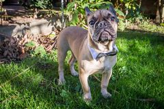 French Bulldog. A beautiful French Bulldog dog head portrait with cute expression in the wrinkled face standing and watching other dogs in the park Stock Photography