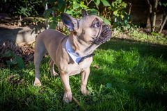 French Bulldog. A beautiful French Bulldog dog head portrait with cute expression in the wrinkled face standing and watching other dogs in the park Stock Image