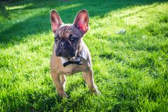 French Bulldog. A beautiful French Bulldog dog head portrait with cute expression in the wrinkled face standing and watching other dogs in the park Royalty Free Stock Photography