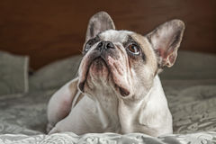 French Bulldog on Bed. A French bulldog laying on a bed looking upwards Royalty Free Stock Photo