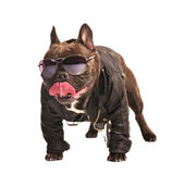 French bulldog biker Royalty Free Stock Photography