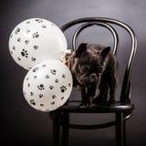 French bulldog Royalty Free Stock Photo