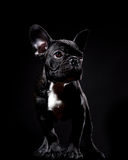 French bulldog on black royalty free stock image