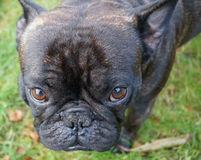 A French Bulldog. A black french bulldog, a black dog, black dogs, cute puppies, a standing dog, dog playing, dogs playing, dogs playing outside, sweet pets Royalty Free Stock Photos