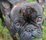 A French Bulldog. A black french bulldog, a black dog, black dogs, cute puppies, a standing dog, dog playing, dogs playing, dogs playing outside Stock Photography