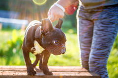 French Bulldog Royalty Free Stock Photo
