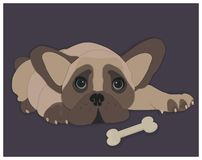 French bulldog with bone. Big eyes vector illustration