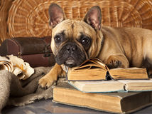 French bulldog and book. In retro style stock photo
