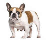 French Bulldog with breast cancer in front of white background. Isolated on white stock photo