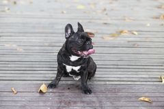 Black French Bulldog royalty free stock photography