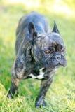 French Bulldog Brindle Male Portrait. Stock Photo