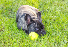 French Bulldog. Stock Photography