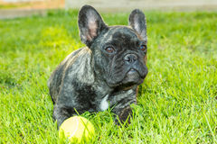 French Bulldog. Stock Images