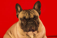 French bulldog. A  french bulld,a companion dog Royalty Free Stock Image