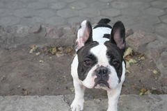 French Bulldog. S are very loving sobaki.Vladeltsy s easy to establish with them a very close and loving relationship. They are loyal companions who love to stock photography