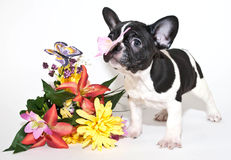 French Bulldog and Butterflies Stock Photos