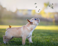 French bulldog and butterflies royalty free stock photography