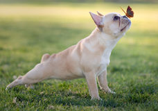 French bulldog and butterflies stock photo