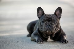 French bulldog canine portrait sitting outside on the pavement. Shot in natural light. Domestic purebreed puppy royalty free stock photos