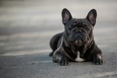 French bulldog canine portrait sitting outside on the pavement. Shot in natural light. Domestic purebreed puppy stock image