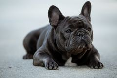 French bulldog canine portrait sitting outside on the pavement. Shot in natural light. Domestic purebreed puppy stock photos