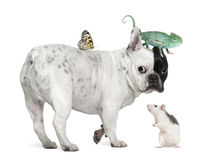 French bulldog with chameleon, rat and butterfly