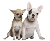 French bulldog and Chihuahua Stock Image