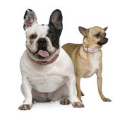 French bulldog and Chihuahua, 4 years old Royalty Free Stock Images