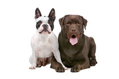 French bulldog and a chocolate Labrador Royalty Free Stock Photography