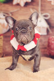 French bulldog christmas vertical stock image