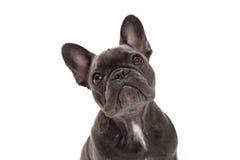 French Bulldog Closeup Royalty Free Stock Image