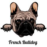 French Bulldog - Color Peeking Dogs - Breed Face Head Isolated On White Royalty Free Stock Photography