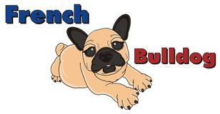 French bulldog with colorful inscription Royalty Free Stock Photography
