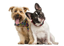 French Bulldog and crossbreed dog sitting next to each other Royalty Free Stock Image