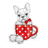 French Bulldog in a cup. Cup and marshmallows. Cute puppy. Ped Royalty Free Stock Image
