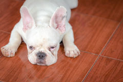 French bulldog. Cute baby french bulldog closed up on the floor stock photo
