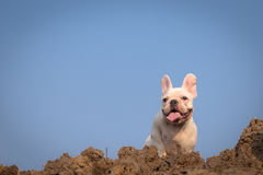 French bulldog. Cute French bulldog doing excerise and playing in the field stock images