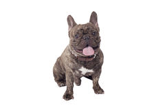 The French Bulldog Stock Photos